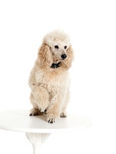 Free Poodle Sitting On The Table Stock Photo - 33492470