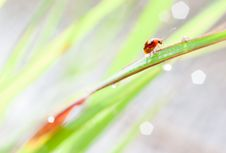 Free Ladybird And Bokeh Royalty Free Stock Photo - 33494995