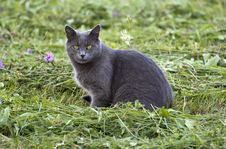 Free Gray Cat Royalty Free Stock Photography - 33495347
