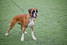 Young Boxer Dog Royalty Free Stock Images