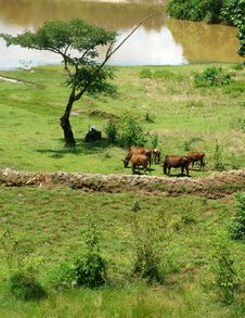 Free The Man Herd Oxen At Countryside Stock Photography - 33496902