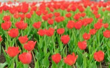 Free Many Tulips Royalty Free Stock Photo - 33498545