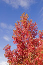Free Red Maple Blue Sky Royalty Free Stock Images - 3351869