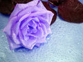 Free Violet Rose On Blue Royalty Free Stock Photo - 3353735