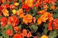 Free Orange Marigolds Stock Image - 3355581
