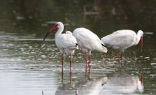 Free White Ibis Stock Photo - 3351630