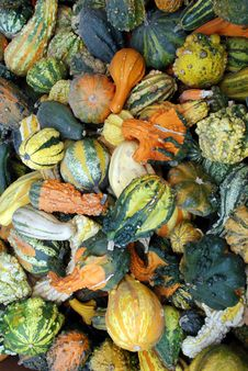 Freshly Picked Gourds Royalty Free Stock Photography