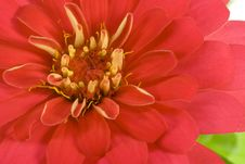 Free Isolated Red Flower Stock Photography - 3352472