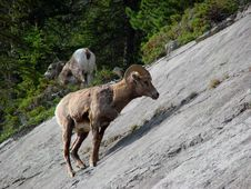 Rockies Bighorn Sheep Royalty Free Stock Image