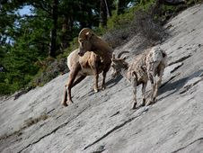 Free Rockies Bighorn Sheep Stock Image - 3352791