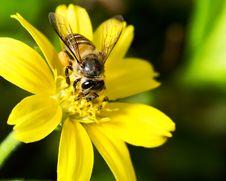 Free Hardworking Bee Stock Photos - 3352963