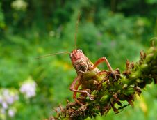 Free Grasshopper 7 Royalty Free Stock Image - 3353336