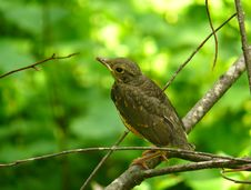 Free Young Thrush 1 Royalty Free Stock Image - 3353416