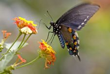 Free Swallowtail Butterfly Royalty Free Stock Photos - 3354828