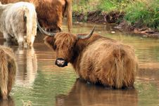Free Highland Cow Stock Images - 3355064