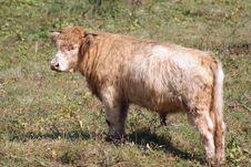 Free Highland Cow Stock Image - 3355071