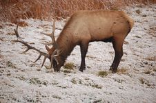 Free Elk Royalty Free Stock Images - 3356369