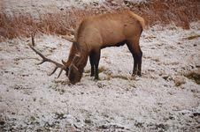 Free Elk Royalty Free Stock Image - 3356386