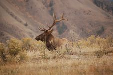 Free Elk Stock Image - 3356391
