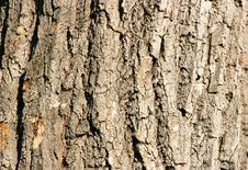 Bark Of Oak Close-up Royalty Free Stock Photo