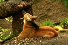 Maned Wolf Yawns Royalty Free Stock Images