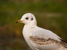 Free Sea-gull Stock Images - 3358194