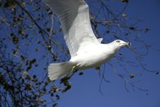 Free Autumn Gull Royalty Free Stock Image - 3358446