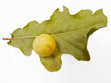 Free Oak Leaf With Growth Stock Image - 3358591