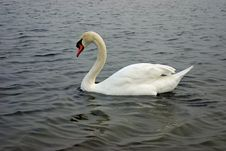 White Swan In Water Stock Photos