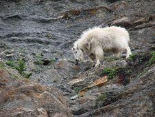 Mountain Goat 2 Stock Photography