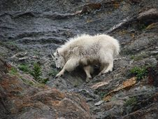Mountain Goat 3 Royalty Free Stock Photography
