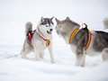 Free Two Playing Siberian Husky Dogs Stock Images - 33506904