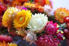 Free Helychrysum - Immortelle Flowers Stock Photos - 33500763