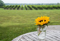 Free Sunflower In A Vineyard 1 Stock Photos - 33514683