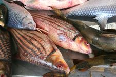 Free Luxury  Fresh Red Snapper, Asian Cuisine Stock Photos - 33513473