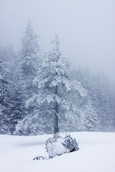 Free Christmas Background With Snowy Firs Stock Photo - 33514490
