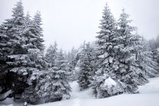 Free Christmas Background With Snowy Firs Stock Photo - 33514520