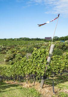 Vineyard Landscape In The Harvesting Season 1 Stock Images