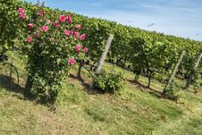 Free Rose Bush In A Vineyard 6 Stock Photos - 33514703
