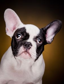 Free Funny French Bulldog Puppy Stock Photos - 33515183
