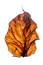 Free Dry Leaf. Royalty Free Stock Photography - 33528797