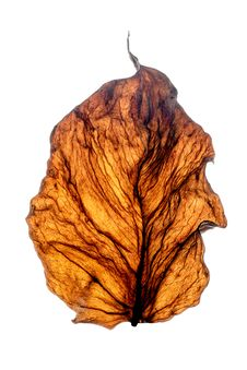 Dry Leaf. Royalty Free Stock Photography