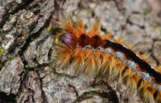 Free Cape Lappet Moth Caterpillar Stock Images - 33555214