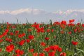Free Field Of Poppies Against Mountains. Stock Images - 33567914