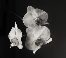 Free Three Orchids In Black And White Stock Image - 33561301