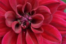 Free Red Dahlia Stock Images - 33562634