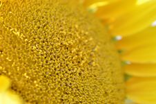Free Sunflower Stock Image - 33562661