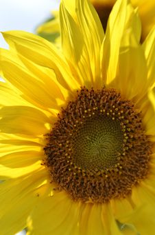 Free Sunflower Royalty Free Stock Image - 33562736