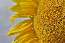Free Sunflower Stock Photography - 33562892