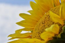 Free Sunflower Royalty Free Stock Image - 33563146